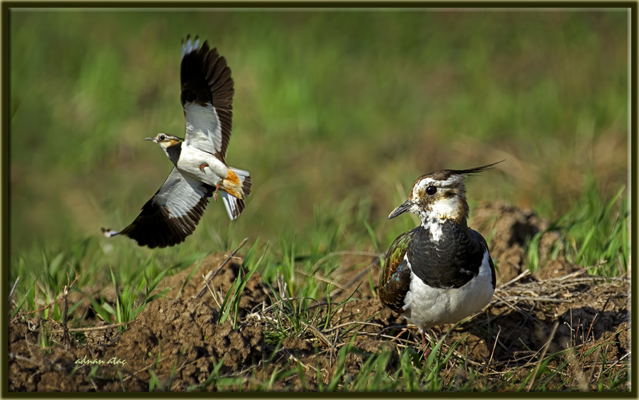 Kızkuşu - Northern Lapwing - Vanellus vanellus (Gölbaşı 2013)
