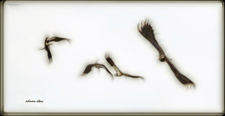 Kızkuşu - Northern Lapwing - Vanellus vanellus (Gölbaşı 2014)