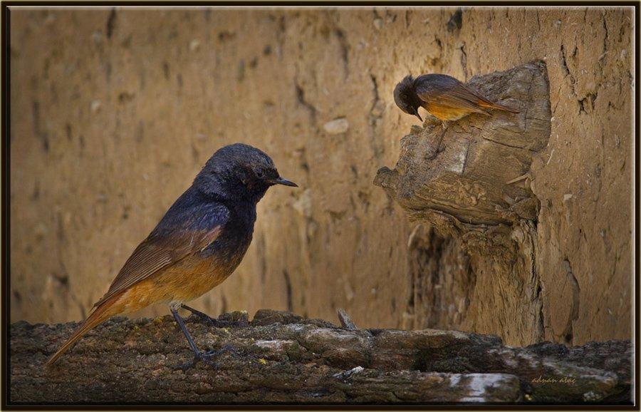 Kara kızılkuyruk - Phoenicurus ochruros - Black Redstart (Ankara 2011)