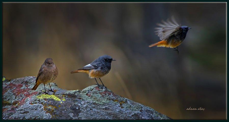 Kara kızılkuyruk - Phoenicurus ochruros - Black Redstart (Ankara 2013)