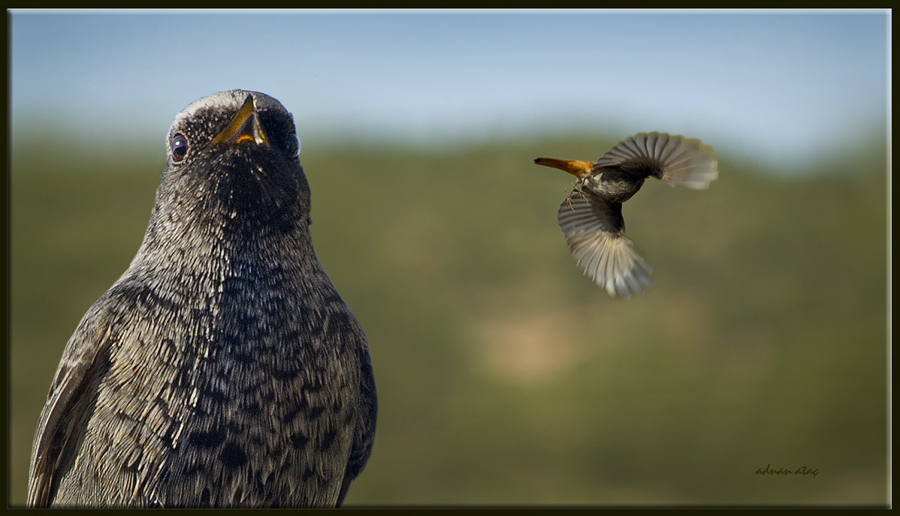 Kara kızılkuyruk - Phoenicurus ochruros - Black Redstart (Osmaniye 2011)