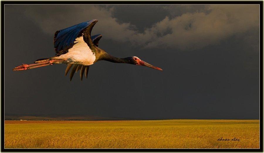 Kara leylek - Ciconia nigra - Black Stork (Gölbaşı 2010)