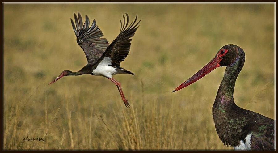 Kara leylek - Ciconia nigra - Black Stork (Gölbaşı 2011)