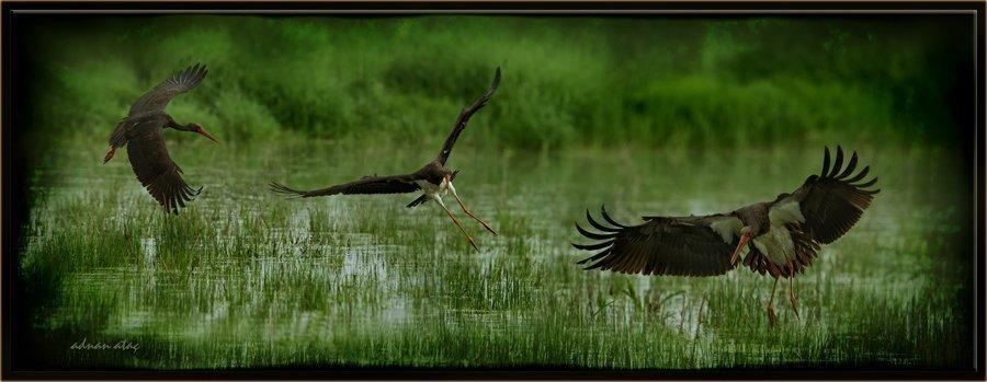Kara leylek - Ciconia nigra - Black Stork (Gölbaşı 2012)