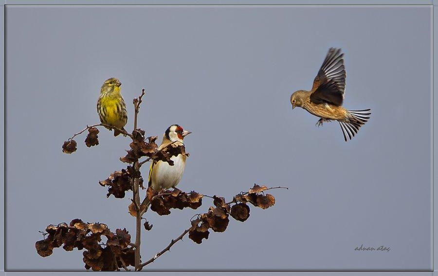 Ketenkuşu - Linaria cannabina - Common Linnet (Adana 2012) Küçük iskete ve Saka ile