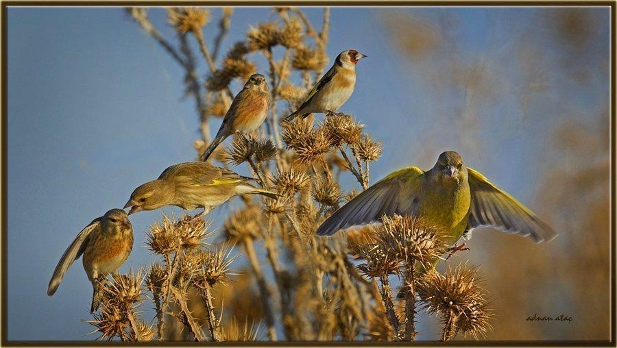 Ketenkuşu - Linaria cannabina - Common Linnet (Ankara 2011) Florya ve Saka ile
