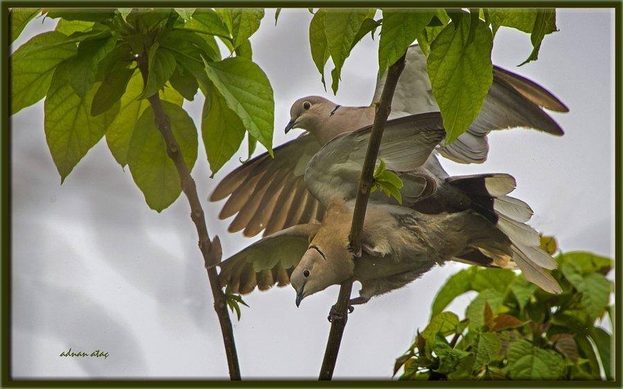 Kumru - Streptopelia decaocto - Eurasian Collared Dove (Bursa 2013)