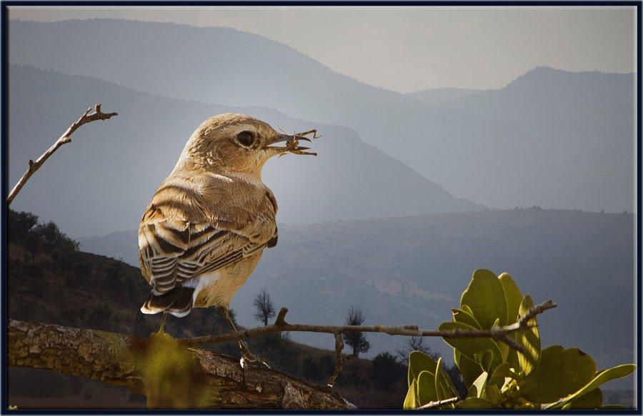 Kuyrukkakan - Oenanthe oenanthe - Northern Wheatear (Ankara 2013)