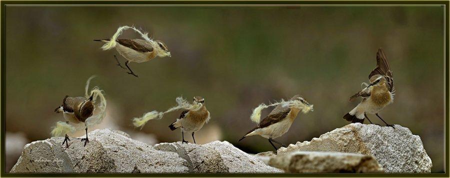 Kuyrukkakan - Oenanthe oenanthe - Northern Wheatear (Gölbaşı 2012)
