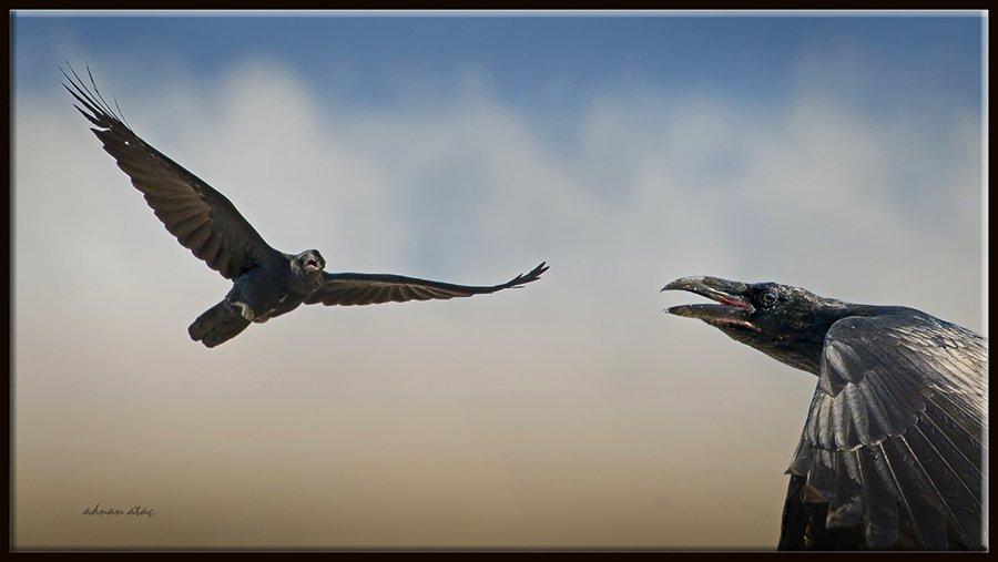 Kuzgun - Corvus corax - Northern Raven (Ankara 2010)