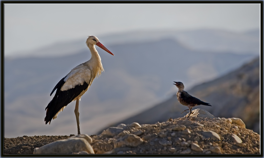 Leylek - Ciconia ciconia - White Stork (Ankara 2010)