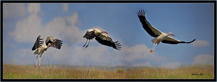 Leylek - Ciconia ciconia - White Stork (Gölbaşı 2010)