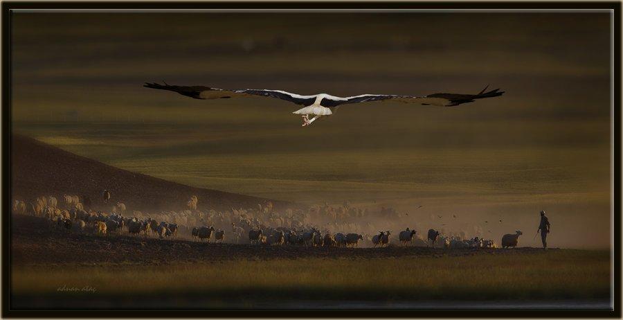 Leylek - Ciconia ciconia - White Stork (Gölbaşı 2012)