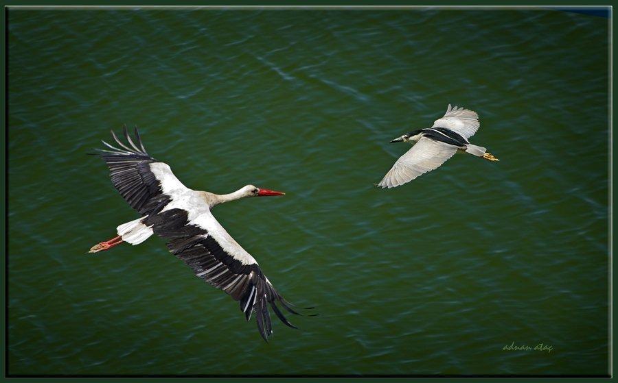 Leylek - Ciconia ciconia - White Stork (Nallıhan 2012) ve Gece balıkçılı