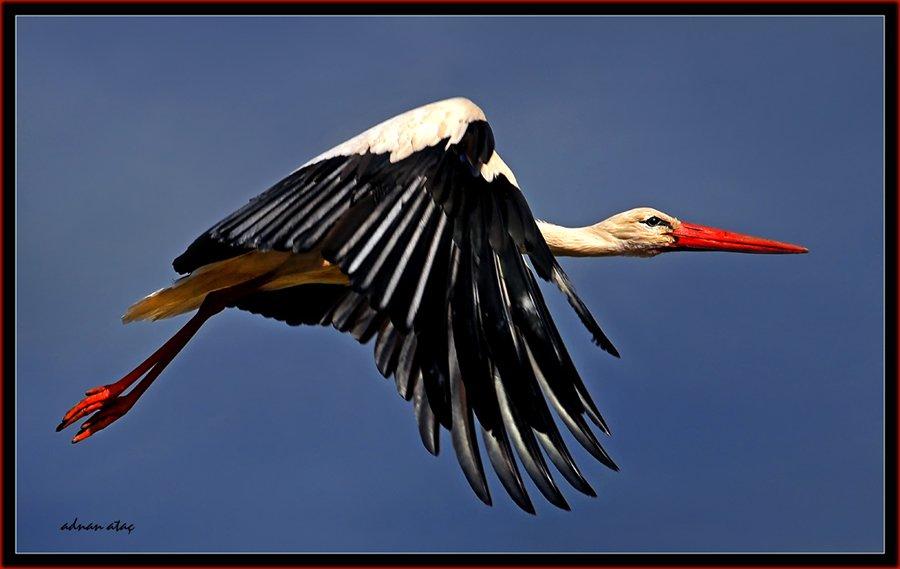 Leylek - Ciconia ciconia - White Stork (Sarıkamış 2010)