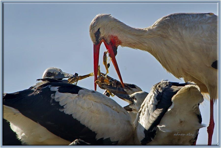 Leylek - Ciconia ciconia - White Stork (Sarıkamış 2012)