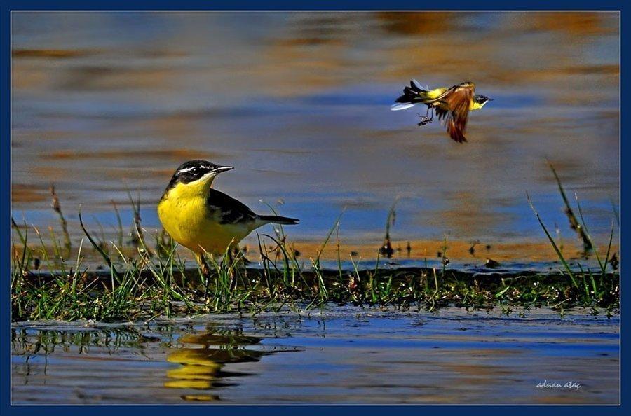 Sarı Kuyruksallayan - Motacilla flava - Western Yellow Wagtail (Gölbaşı 2010)