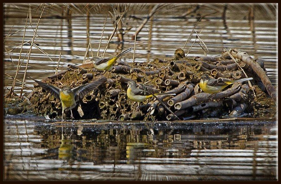 Sarı Kuyruksallayan - Motacilla flava - Western Yellow Wagtail (Gölbaşı 2011)
