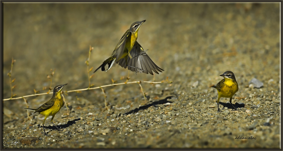Sarı Kuyruksallayan - Motacilla flava - Western Yellow Wagtail (Gölbaşı 2012)