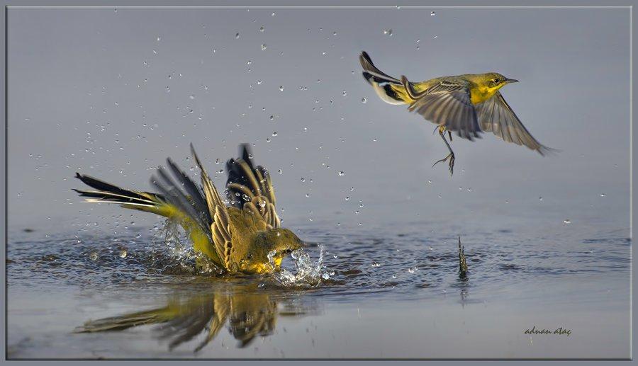 Sarı Kuyruksallayan - Motacilla flava - Western Yellow Wagtail (Gölbaşı 2013)