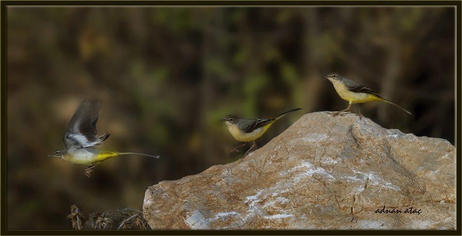 Sarı Kuyruksallayan - Motacilla flava - Western Yellow Wagtail (Gölbaşı 2014)