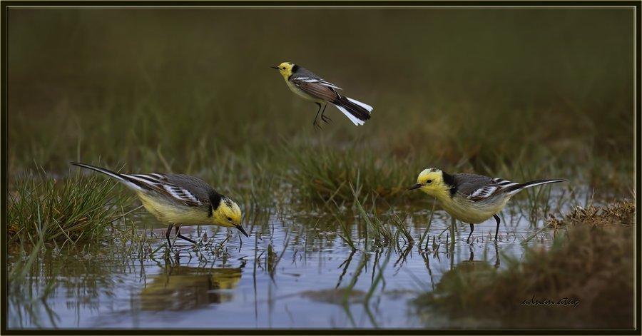 Sarıbaşlı kuyruksallayan - Motacilla citreola - Citrine Wagtail (Gölbaşı 2015)