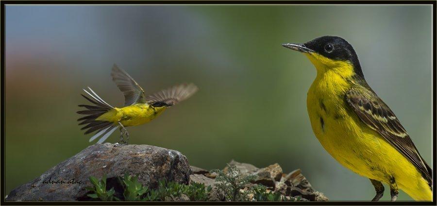 Siyahbaşlı sarı kuyruksallayan - Motacilla flava feldegg - Black headed Wagtail (Gölbaşı 2012)
