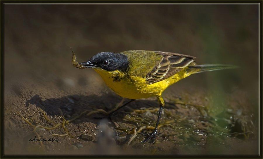 Siyahbaşlı sarı kuyruksallayan - Motacilla flava feldegg - Black headed Wagtail (Gölbaşı 2014)