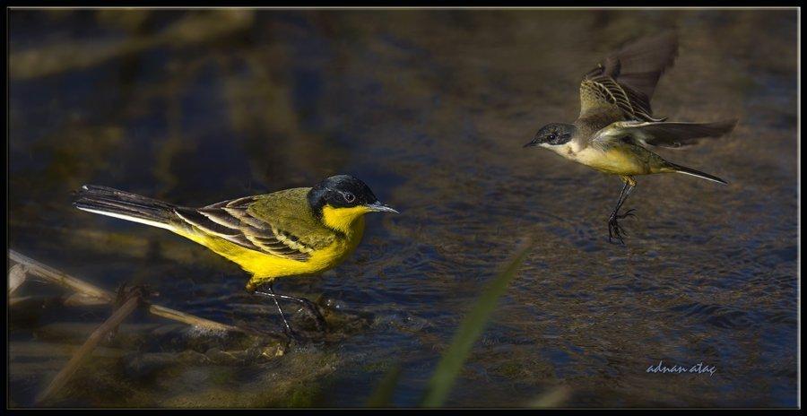 Siyahbaşlı sarı kuyruksallayan - Motacilla flava feldegg - Black headed Wagtail (Gölbaşı 2015)