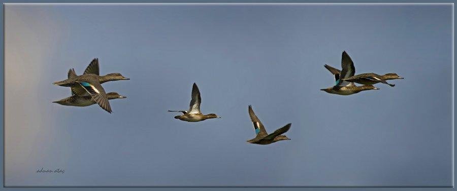 Çamurcun - Anas crecca - Eurasian Teal (Ankara 2012)