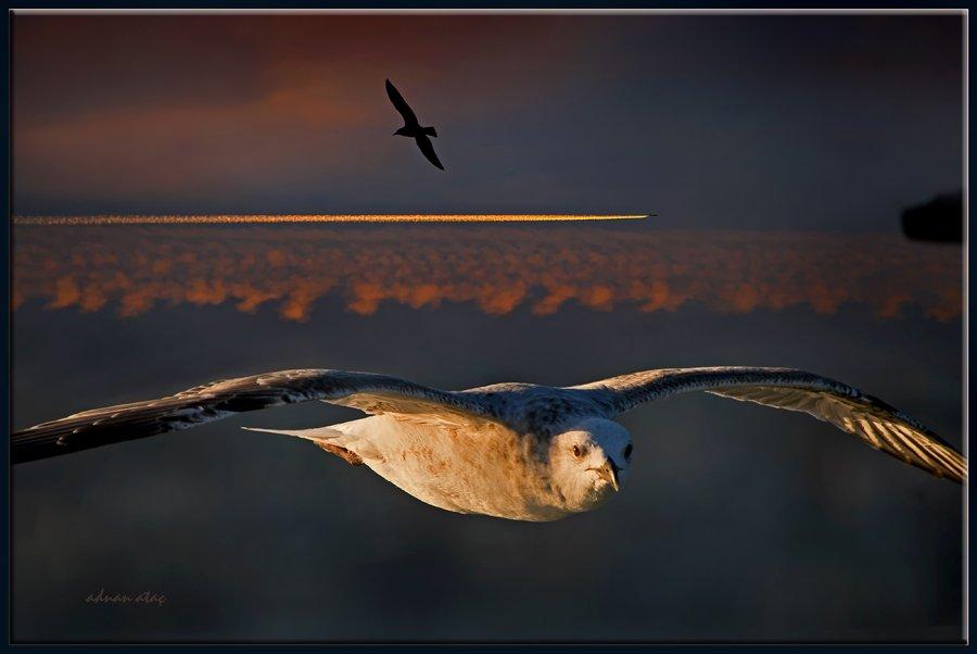 Gümüş martı - larus michahellis - Yellow legged Gull (İstanbul 2010)