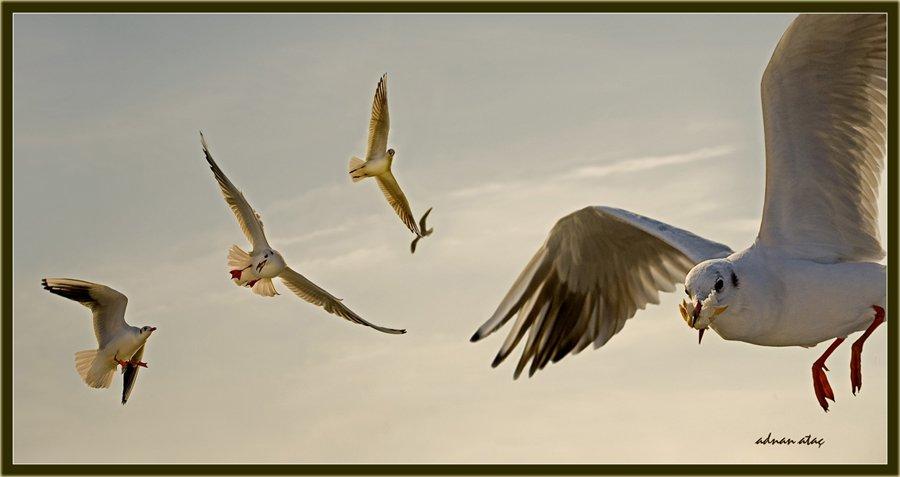 Karabaş martı - Chroicocephalus ridibundus - Black-headed Gull (İstanbul 2010)
