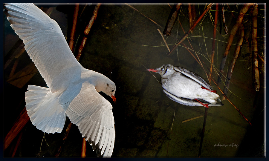 Karabaş martı - Chroicocephalus ridibundus - Black-headed Gull (Gölbaşı 2010) ölü
