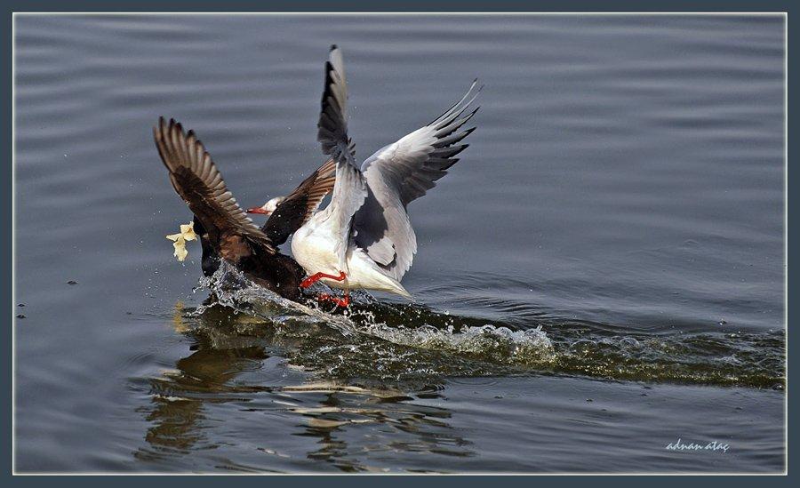Karabaş martı - Chroicocephalus ridibundus - Black-headed Gull (Gölbaşı 2010) ve Sakarmeke
