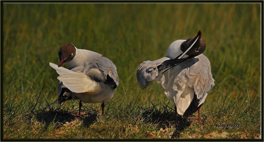 Karabaş martı - Chroicocephalus ridibundus - Black-headed Gull (Gölbaşı 2010)