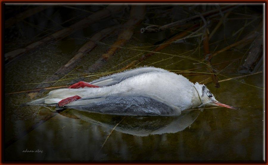 Karabaş martı - Chroicocephalus ridibundus - Black-headed Gull (Gölbaşı 2011) ölü