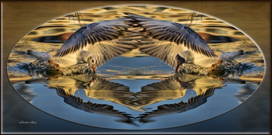 Karabaş martı - Chroicocephalus ridibundus - Black-headed Gull (Gölbaşı 2011)