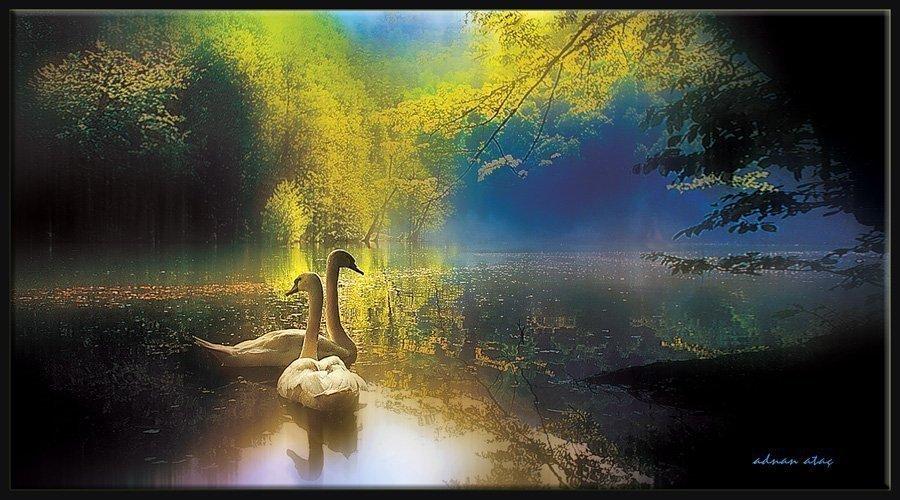 Kuğu - Cygnus olor - Mute Swan (Yedigöller 2003)