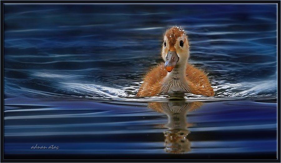 Macar ördeği - Netta rufina - Red crested Pochard (Ankara 2010)