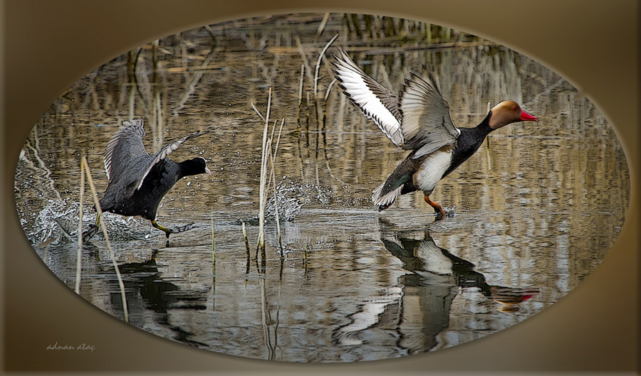 Macar ördeği - Netta rufina - Red crested Pochard (Ankara 2011)