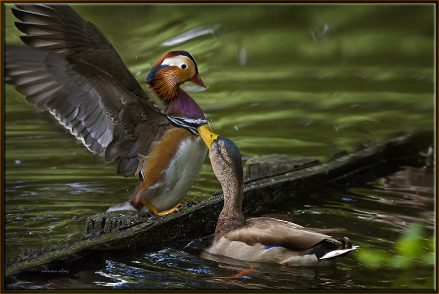 Mandarin ördeği - Aix galericulata - Mandarin Duck (Berlin 2011)
