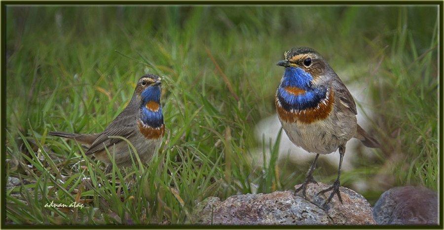 Mavigerdan - Luscinia svecica - Bluethroat (Gölbaşı 2014)