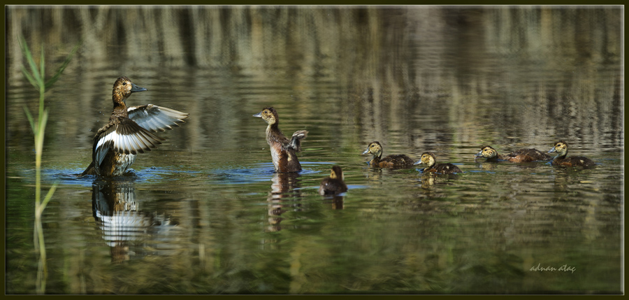 Pasbaş Patka - Aythya nyroca - Ferruginous Duck (Ankara 2012)