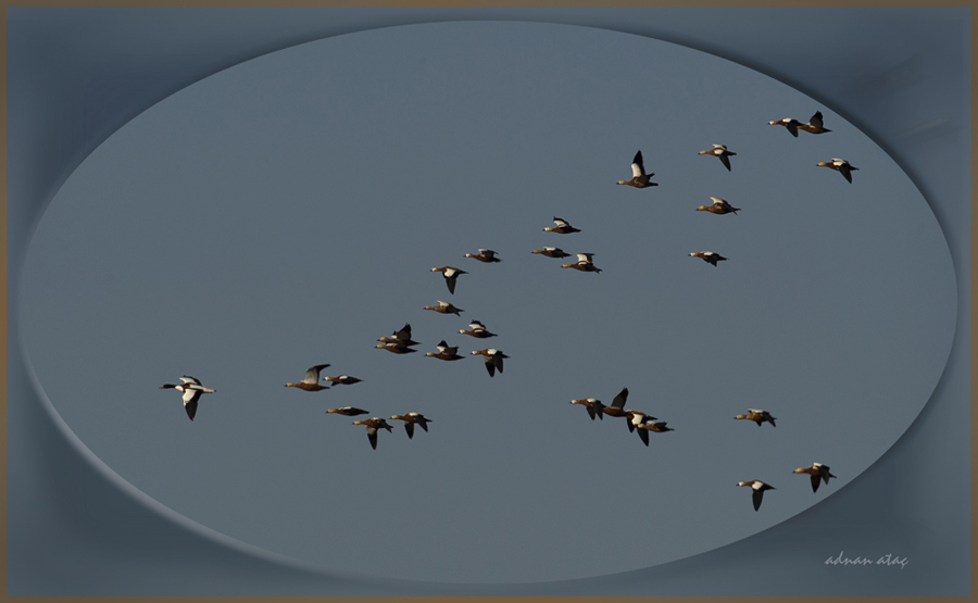 Suna - Tadorna tadorna - Common Shelduck (Ankara 2011)  ve Angıtlar