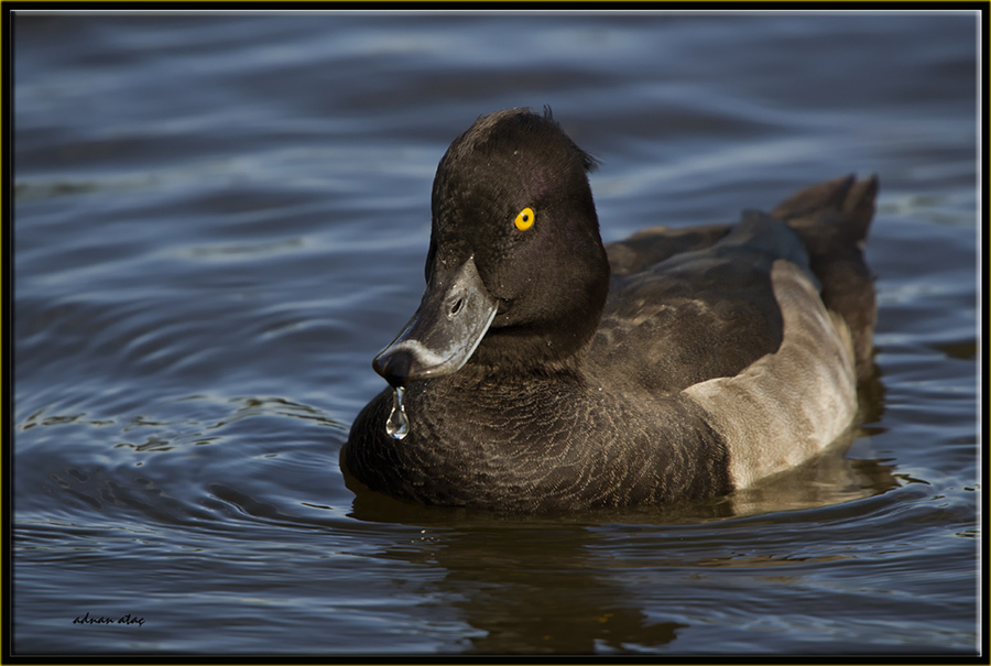 Tepeli patka - Aythya fuligula - Tufted Duck (Berlin 2011)